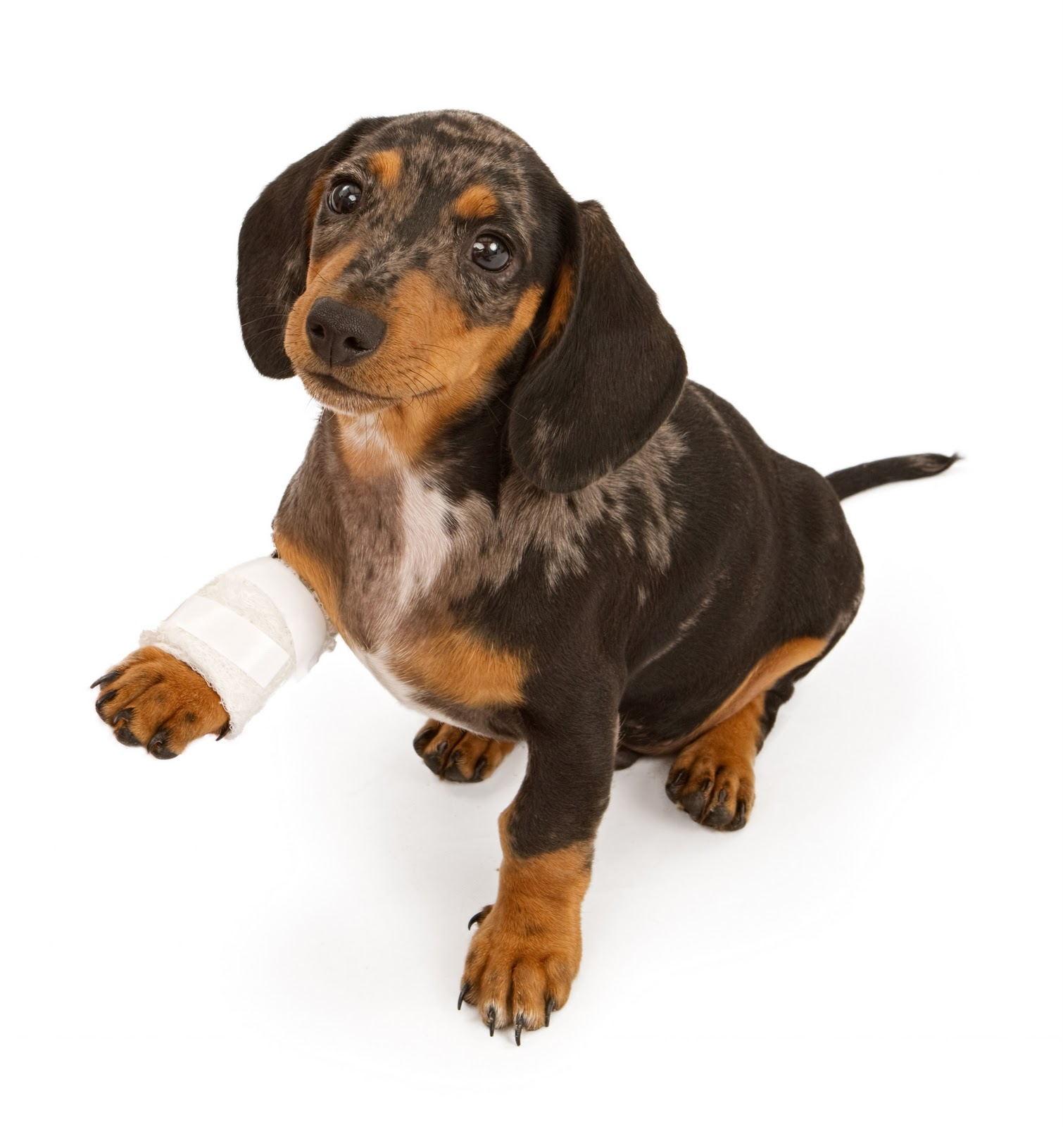 cane fasciatura 2