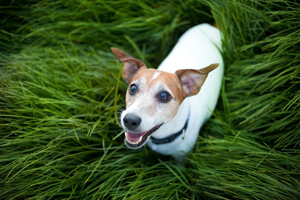 Jack Russell Terrier Carattere Standard E 10 Cose Da