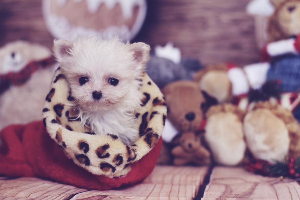 Maltese Toy Carattere E Standard Io E Il Mio Animale