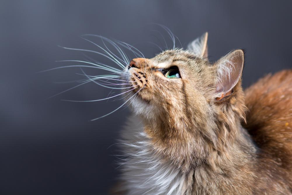Il mistero dei baffi del gatto (o vibrisse) - Io e il mio Animale