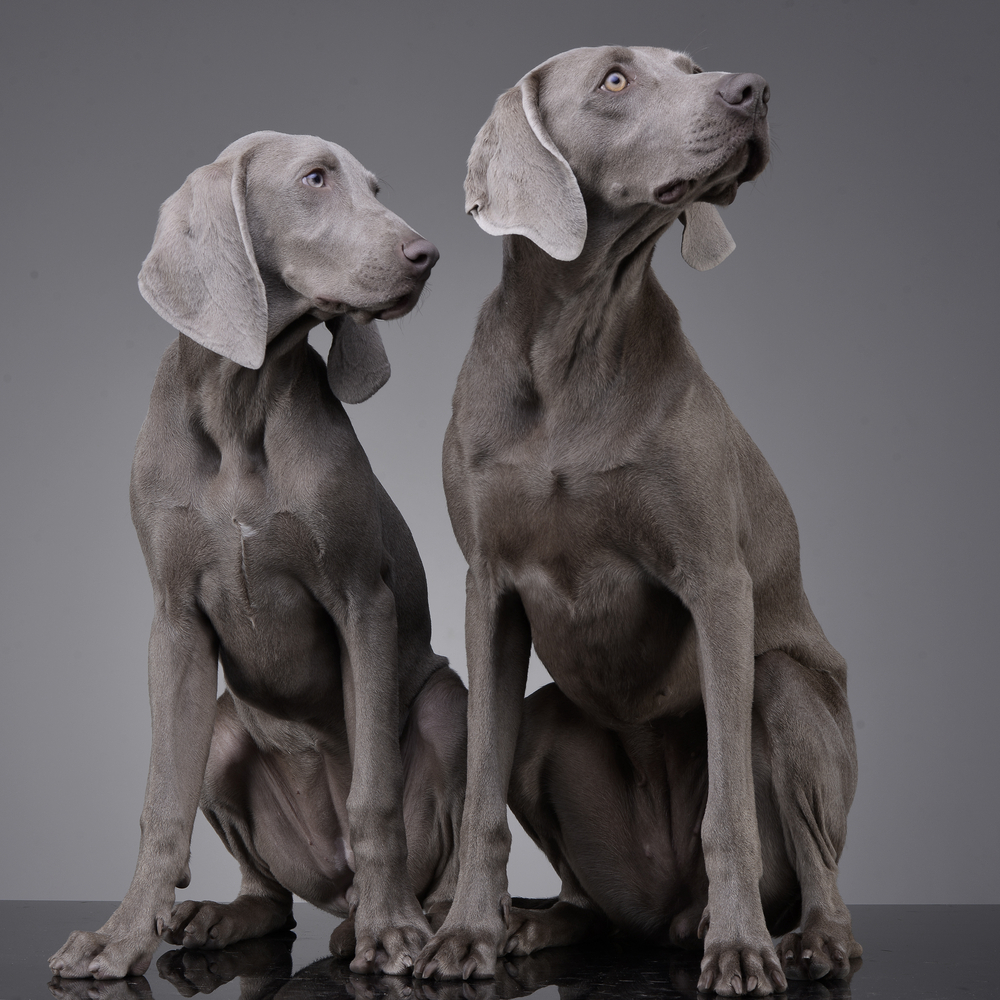 studio-shot-of-two-adorable-weimaraner-s