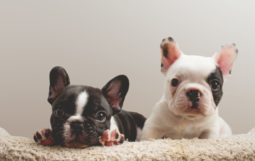Bulldog Francese Carattere Standard E Cose Da Sapere Io E Il Mio